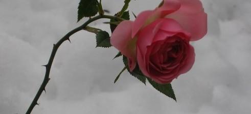Rose 15 12 2008